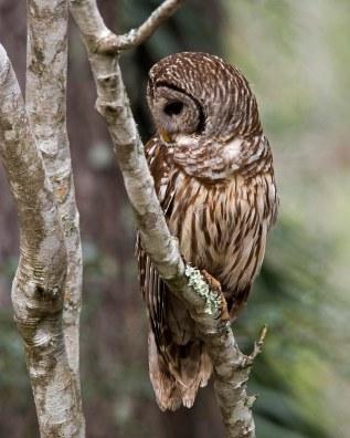 Owl looking left